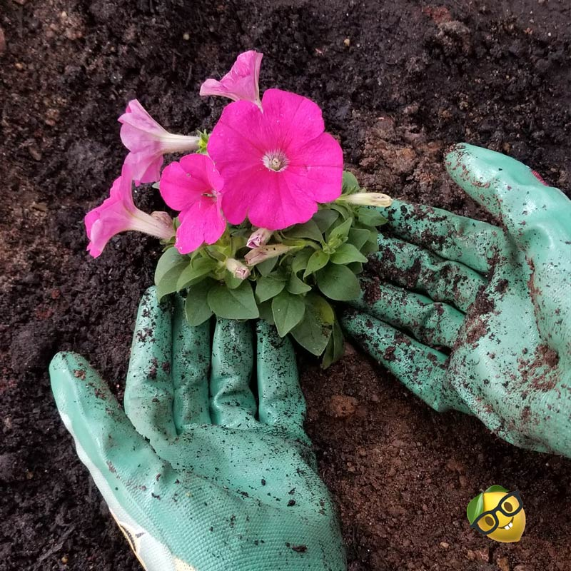 gloved hands cradling a freshly planted flower